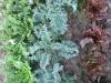 lettucekaleendivecompanion