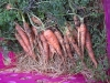 carrotsincrate