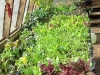 greenhousesalad