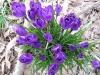 springcrok